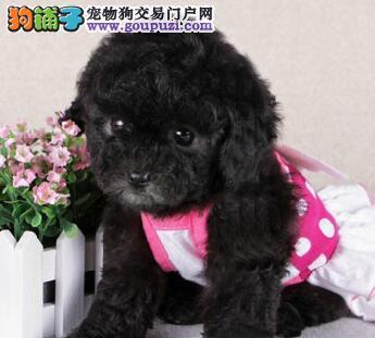 杭州多窝茶杯小体泰迪熊转让 可上门看泰迪犬可视频选