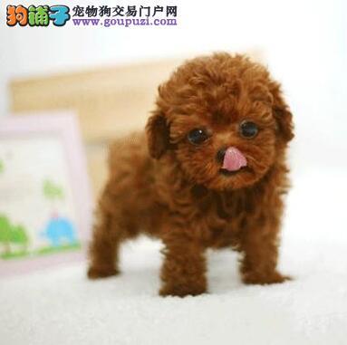 南宁大型培育中心出售多种颜色的泰迪犬 狗贩子绕行3