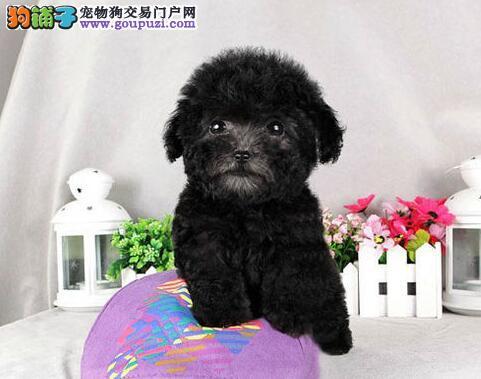 转让茶杯玩具血系的贵阳泰迪犬 建议大家上门选购幼犬3