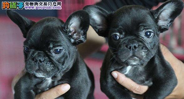 北京出售纯种法国斗牛幼犬 健康法斗 疫苗驱虫已做