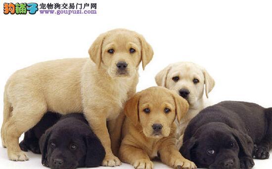 大头宽嘴极品拉布拉多幼犬 重庆犬舍直销 签协议包终身