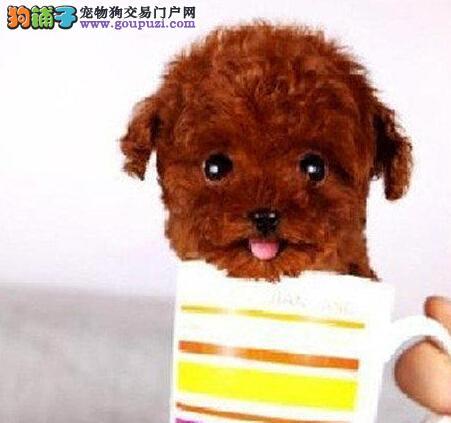 适合家庭喂养 玩具体泰迪犬宝宝焦作狗场等你抱回家