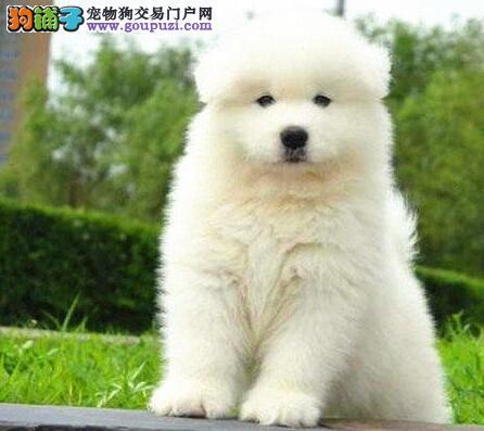 杭州市出售可爱微笑天使萨摩耶萨摩幼犬3