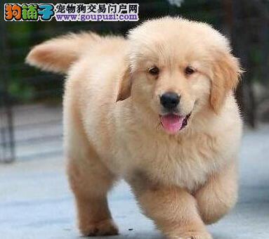 大骨架金毛犬乌鲁木齐正规犬舍低价促销 毛色品相佳