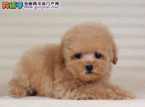 威海专业狗舍促销泰迪犬苹果脸蛋小短嘴超可爱1
