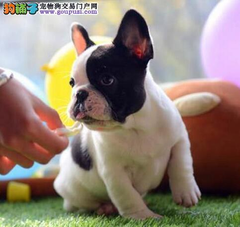 高品质法国斗牛犬幼犬、血统纯正包品质、当天付款包邮