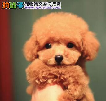 纯种泰迪犬直销、纯度第一价位最低、喜欢加微信1