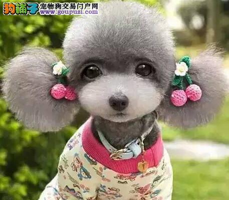 沈阳正规犬舍特价促销茶杯玩具血系的泰迪犬 非诚勿扰