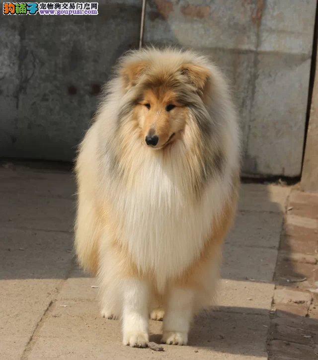 邵阳雕色苏格兰牧羊犬幼犬专业繁殖 三色两色可选