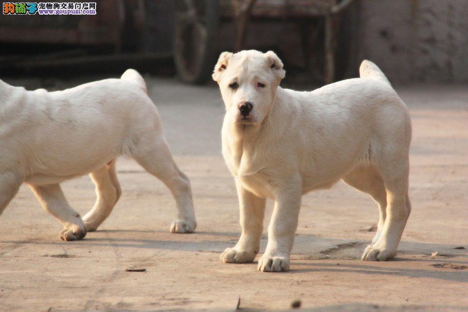 赛级品相中亚牧羊犬幼犬低价出售终身售后协议4