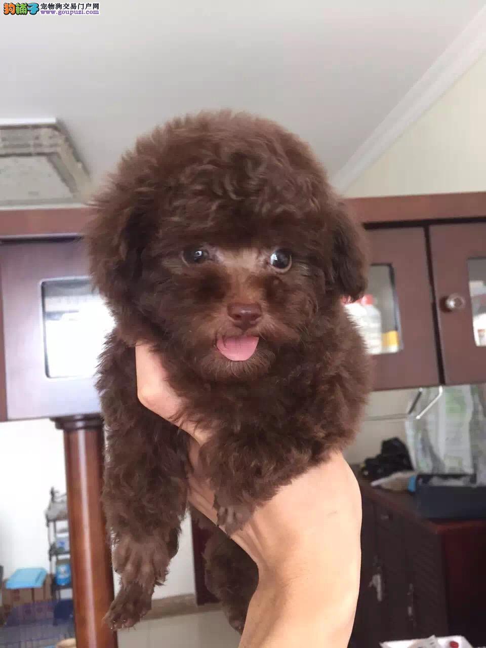 重庆出售精品纯种小型犬比熊宝宝袖珍迷你茶杯犬宠物狗