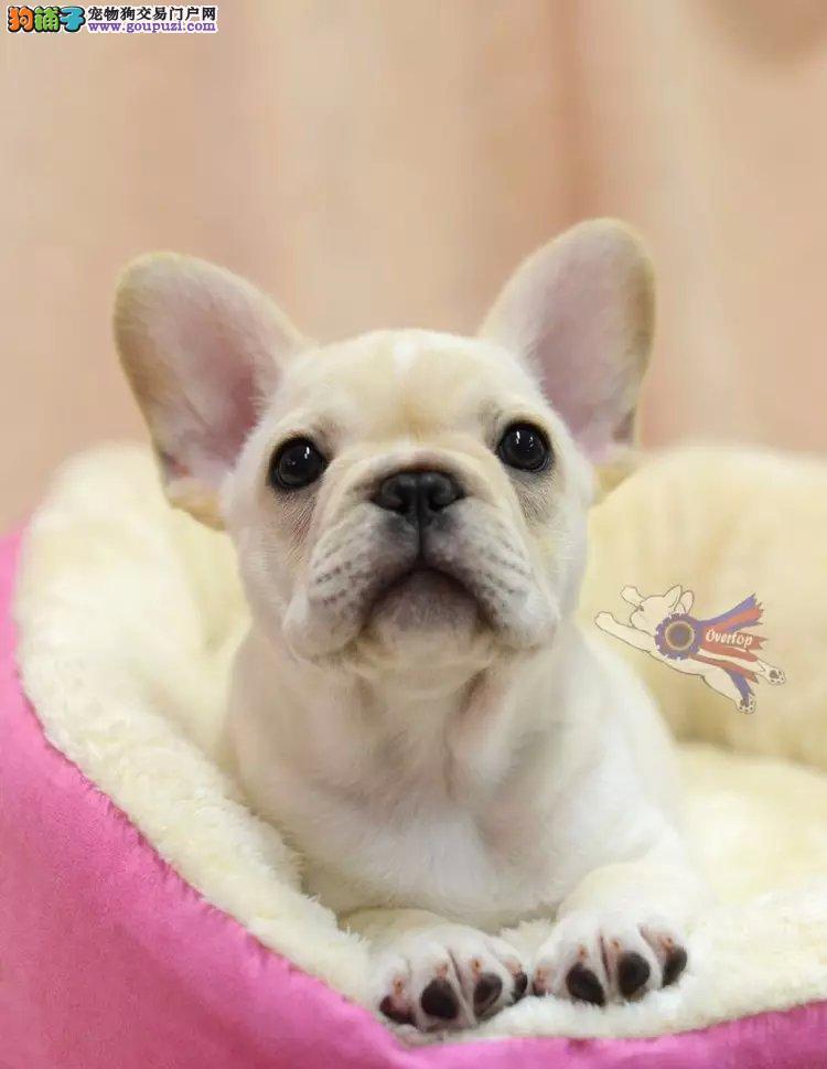 牡丹江自家繁殖赛级法牛 奶油色纯色法国斗牛犬幼犬