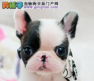 高端法国斗牛犬幼犬、保证品质一流、微信咨询看狗