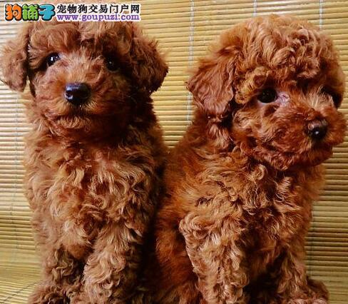 深圳市出售贵宾犬 带血统证书可刷卡 多窝可选 包养活