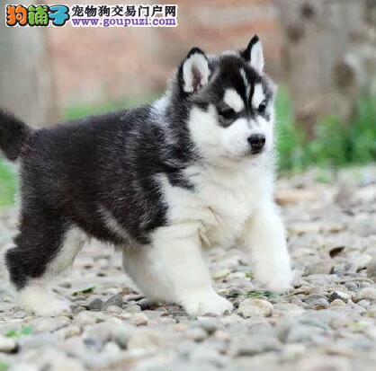 北京售哈士奇犬 小哈 二哈撒手没出售中欢迎选购
