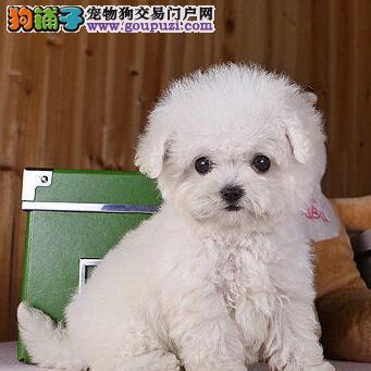 兰州正规犬舍出售茶杯玩具血系的泰迪犬 带血统证书3
