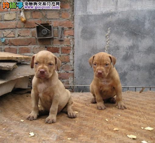 金华实体店低价促销赛级比特犬幼犬包售后包退换