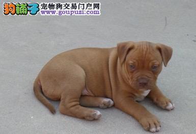 安阳家养美系比特犬出售专业繁殖血统好品相一流耐力强