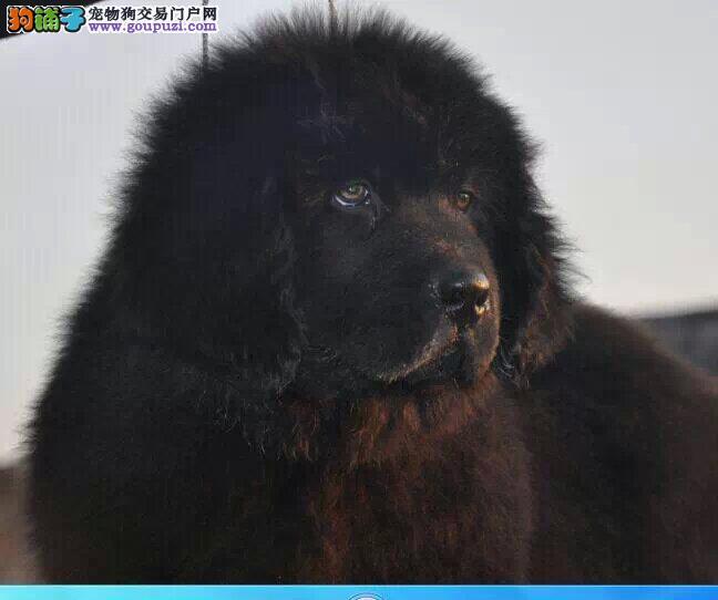 专业正规犬舍热卖优秀贵阳纽芬兰犬专业繁殖中心值得信赖