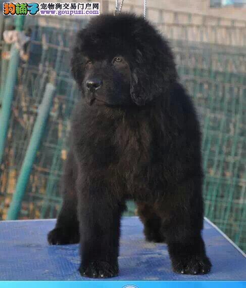 CKU认证犬舍 专业出售极品 纽芬兰犬幼犬包养活送用品