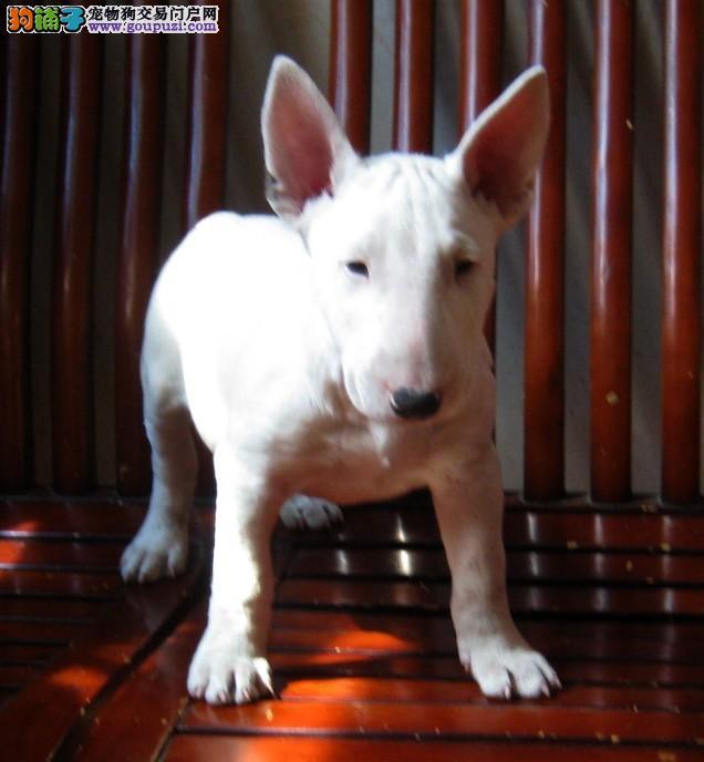 专业繁殖牛头梗幼犬出售 高品质 纯血统 保健康 包售后