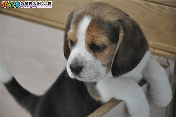 自家出售 一窝比格幼犬 纯种血统 上门挑选