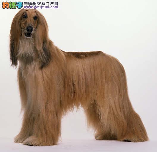 专业正规犬舍热卖优秀阿富汗猎犬优质服务终身售后3
