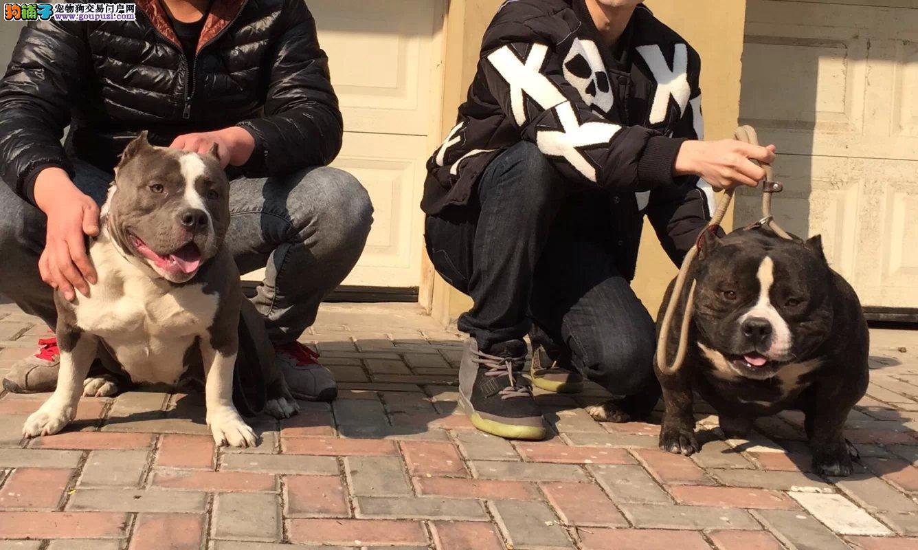 实物拍摄的美国恶霸犬找新主人专业繁殖中心值得信赖