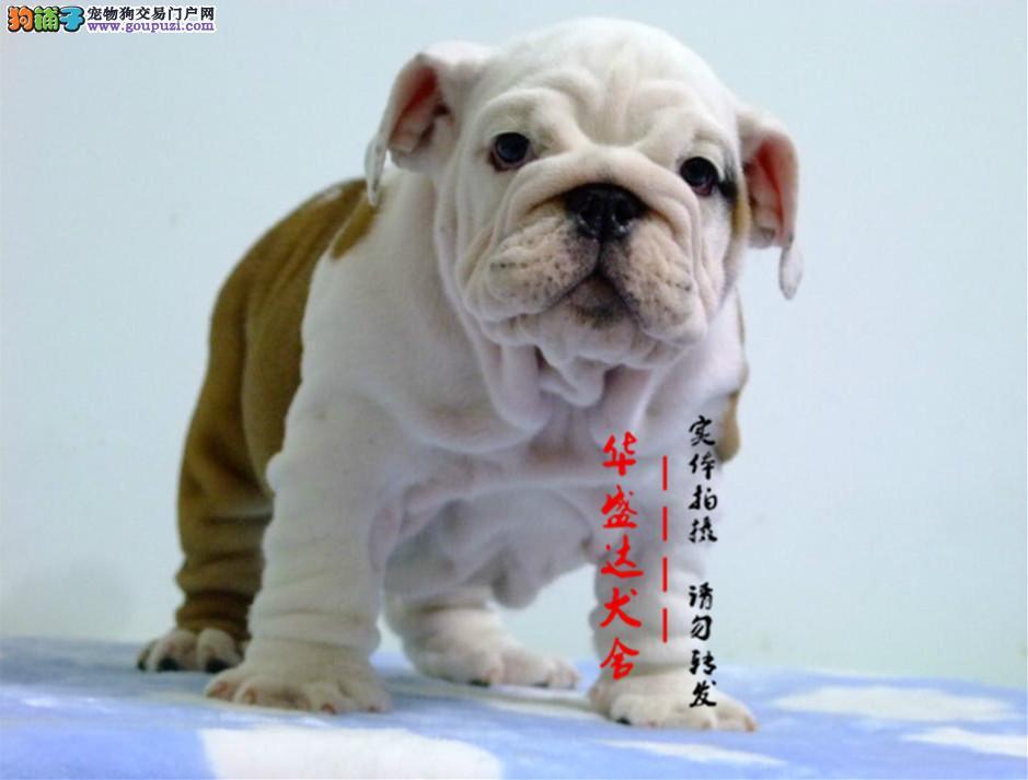 信誉第一 品质第一 精品斗牛幼犬 健康质保 十佳犬舍