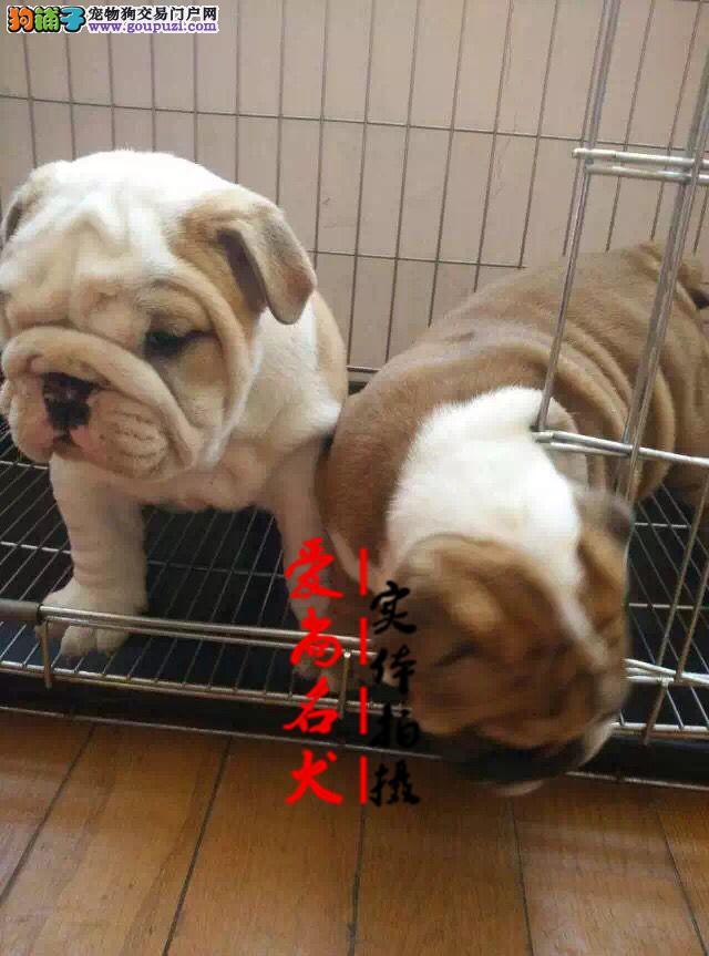 北京最大的斗牛犬基地 完美售后 质量三包 可送货上门