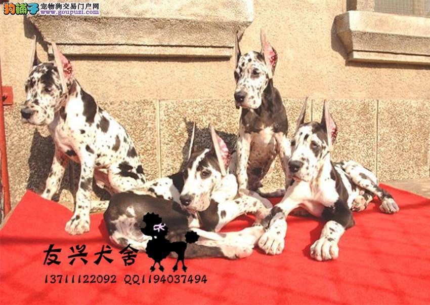 CKU认证犬舍 专业出售极品 大丹犬幼犬微信咨询看狗狗视频