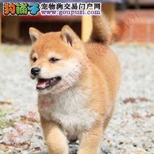 专业繁殖顶级柴犬 支持送货上门服务