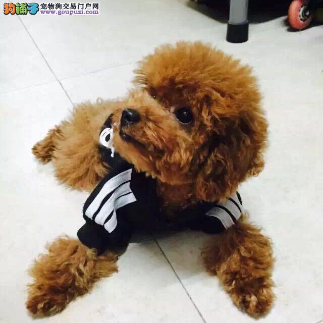 可爱泰迪宝宝咸宁市售疫苗已做已驱虫小贵宾公狗幼犬