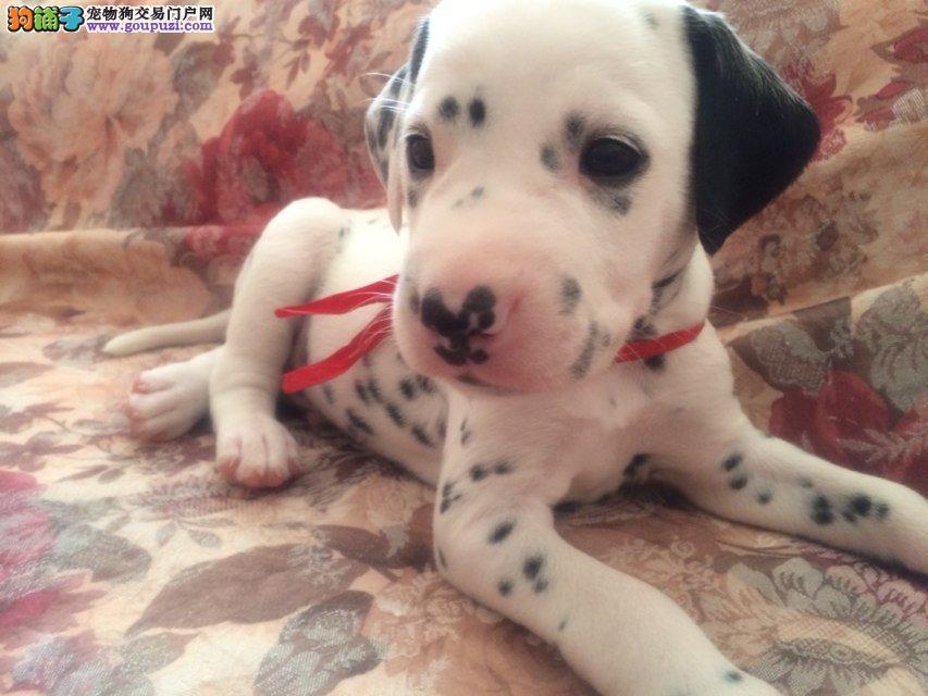 出售斑点狗幼犬 品相到位保证健康全国包邮 可上门挑选