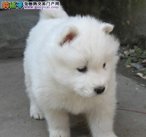 杭州正规犬舍养殖出售萨摩耶幼犬 微笑天使般完美品相