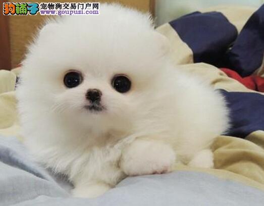 哈多利球形多种颜色的杭州博美犬找爸爸妈妈 签订协议