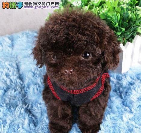 荆州直销小体型泰迪犬香槟色棕红色泰迪熊品相好保品质1