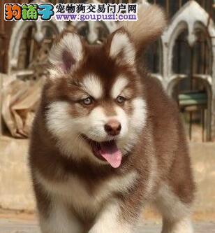 石家庄红色巨型阿拉斯加雪橇犬活泼可爱骨架大易训好养