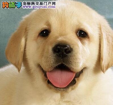 本地出售高品质拉布拉多宝宝购犬可签协议2