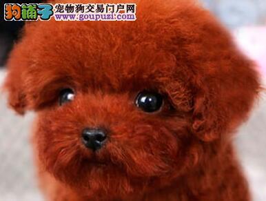 成都正规良心犬舍 专业繁殖泰迪熊出售 泰迪幼犬健康