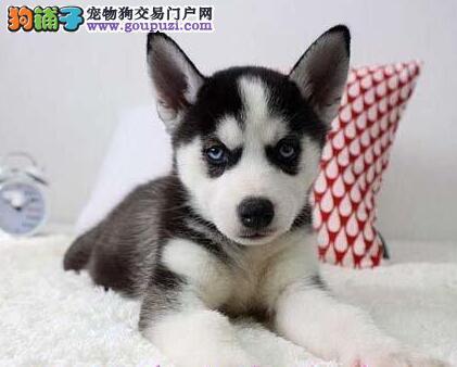CKU血统认证精品纯种哈士奇幼犬三火双蓝眼