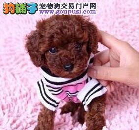 上海本地狗场出售纯种韩系贵宾犬 国外引进保证品质