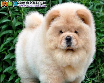 岳阳专业繁殖大头肉嘴正版松狮幼犬 签订售后质保合同