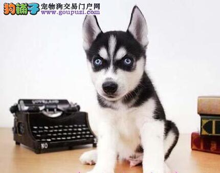上海犬舍直销三把火哈士奇 价格优惠品质高毛色佳2