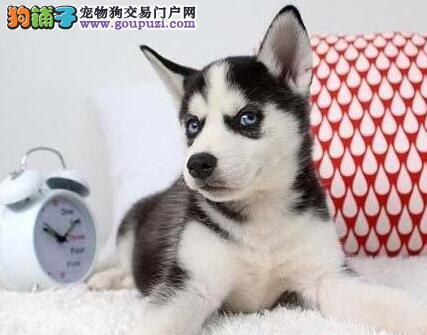 上海犬舍直销三把火哈士奇 价格优惠品质高毛色佳3