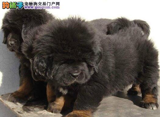 上海正规犬舍直销价格出售原生态藏獒 可接受预定