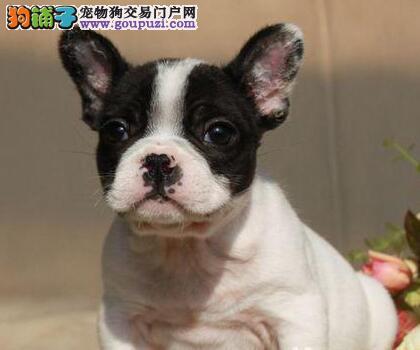 兰州实体店低价促销赛级法国斗牛犬幼犬专业繁殖中心值得信赖
