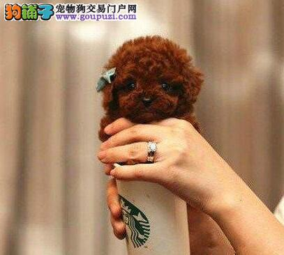 石嘴山出售颜色齐全身体健康贵宾犬品质一流三包终身协议