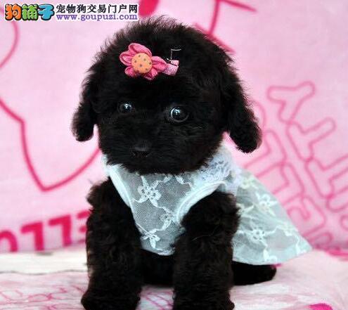有点淘气 有点撒娇 北京售超萌泰迪宝宝玩具茶杯贵宾犬