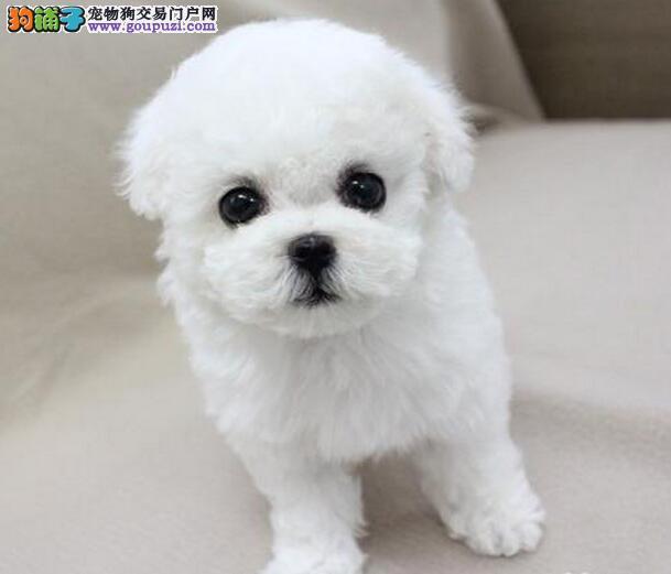 棉花糖版的卷毛兰州比熊犬找新主人 可随时上门选购犬